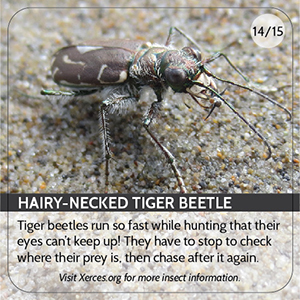 Hairy Necked Tiger Beetle