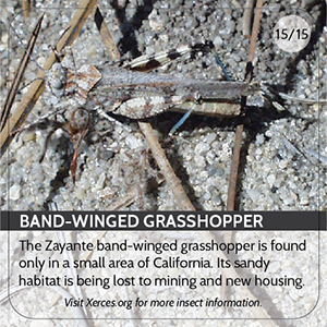 Band Winged Grasshopper