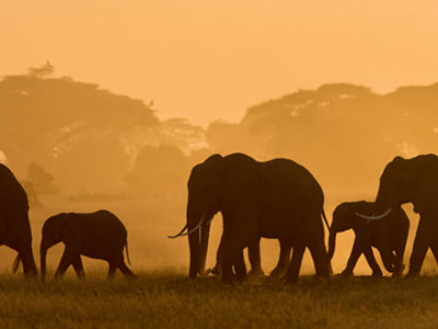 Wildlife Elephants